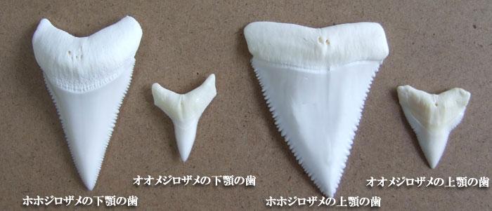 ホホジロザメの歯